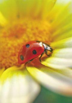 Grußkarte - Glückskäfer